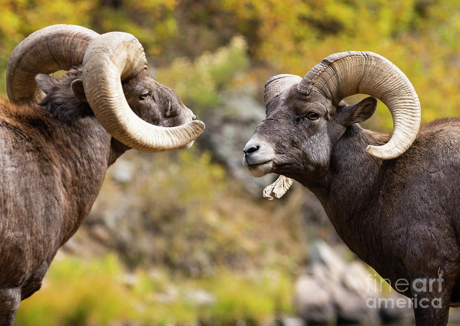 Bighorn Face Off Photograph