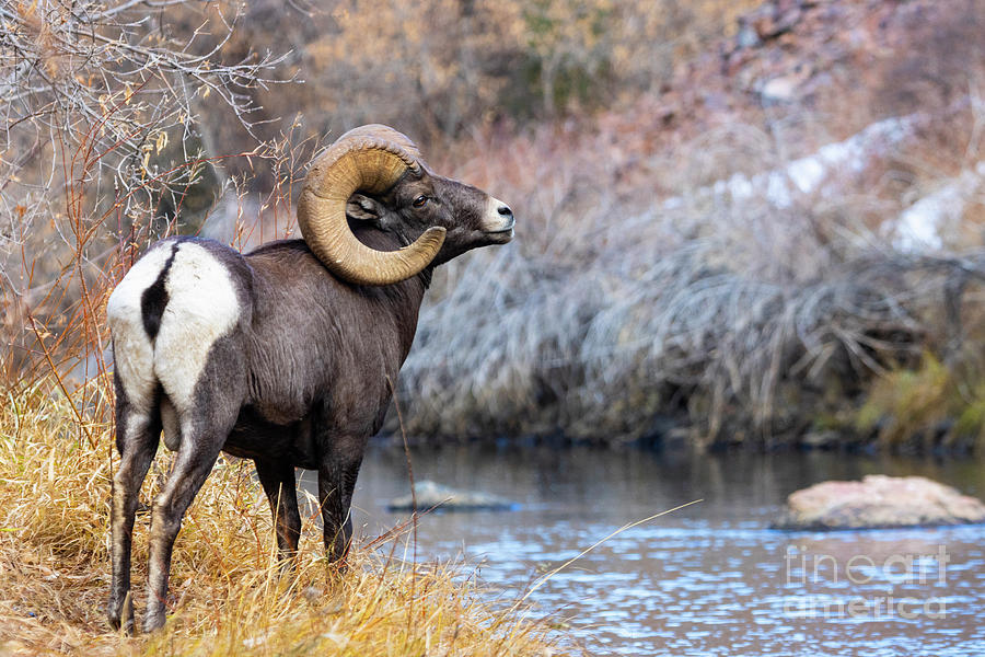 Bighorn Ram At Waters Edge Photograph