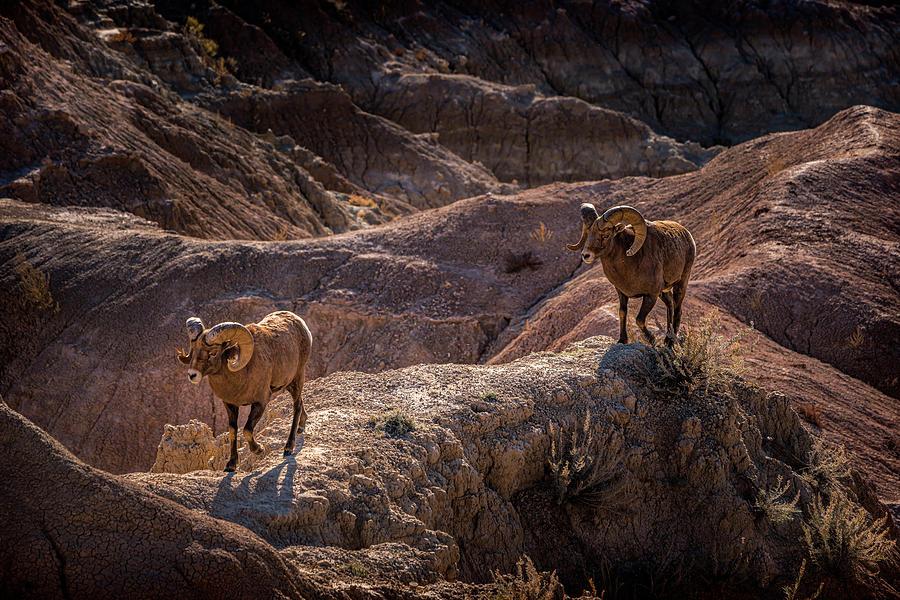 Bighorn Sheep Badlands South Dakota GRK6781_10192019 by Greg Kluempers