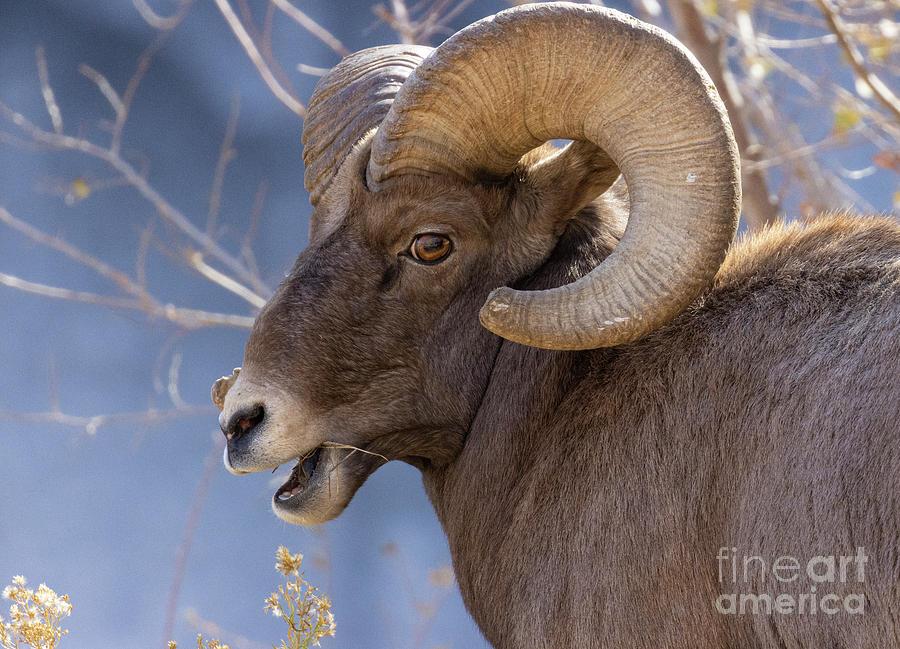 Bighorn Sheep By Waterfall Photograph