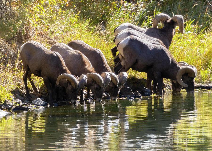 Bighorn Sheep Drinking In Waterton Canyon Autumn Photograph