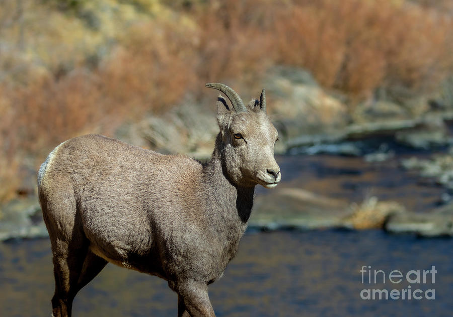 Bighorn Sheep Ewe By The River Photograph