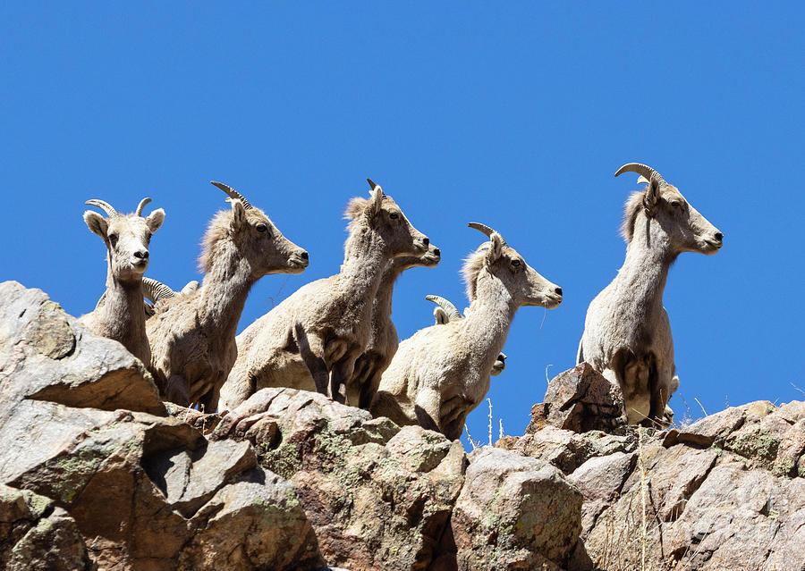 Bighorn Sheep In In A Row Photograph