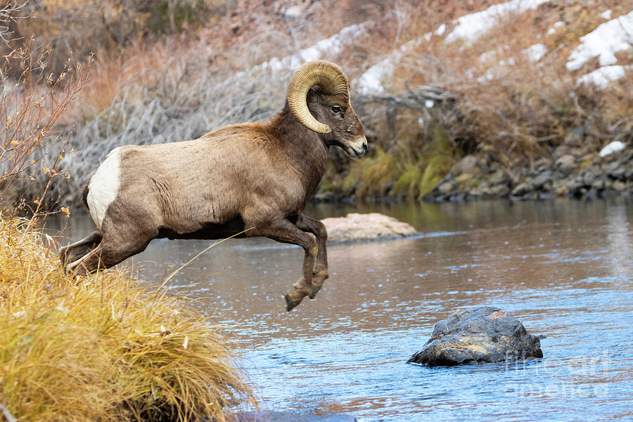 Bighorn Sheep in Waterton Canyon by the South Platte River by Steve Krull