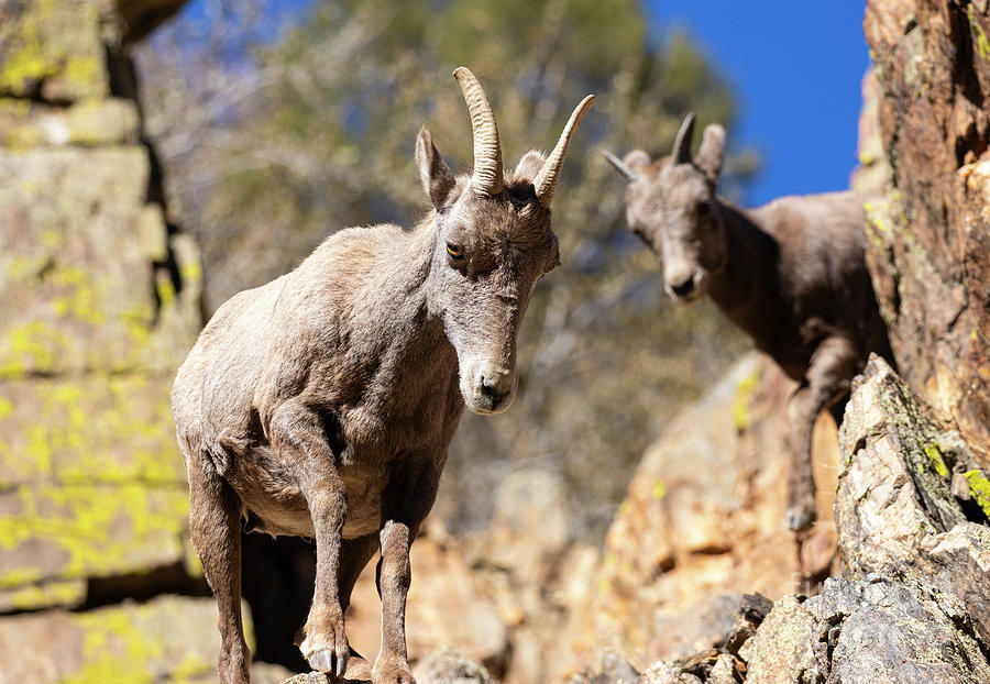 Bighorn Sheep Lambs Photograph