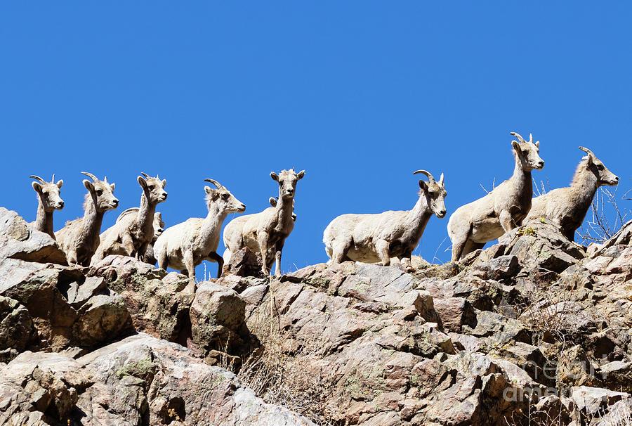 Bighorn Sheep On A Ridge Photograph