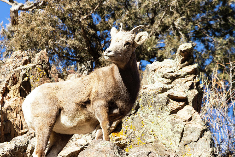 Bighorn Sheep On The Rocks Of  Waterton Canyon By The South Platte River Photograph