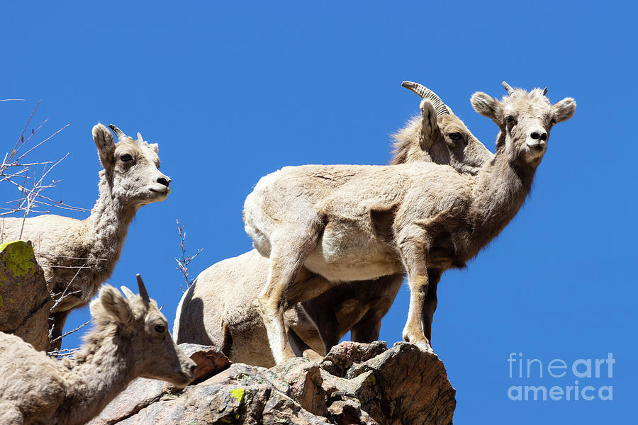 Bighorn Sheep Perched On A Rock Photograph
