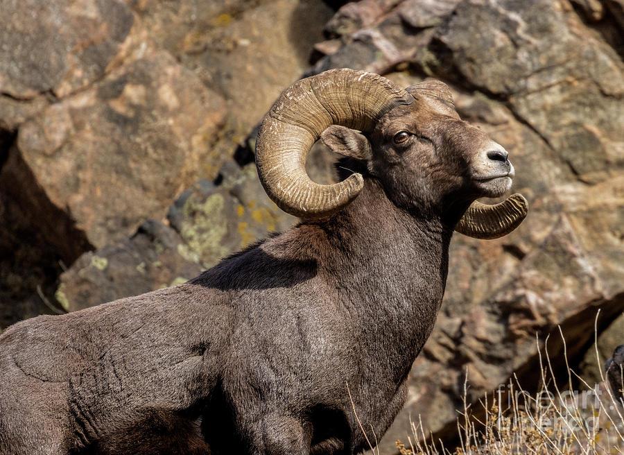 Bighorn Sheep Portrait Waterton Clifffs Photograph