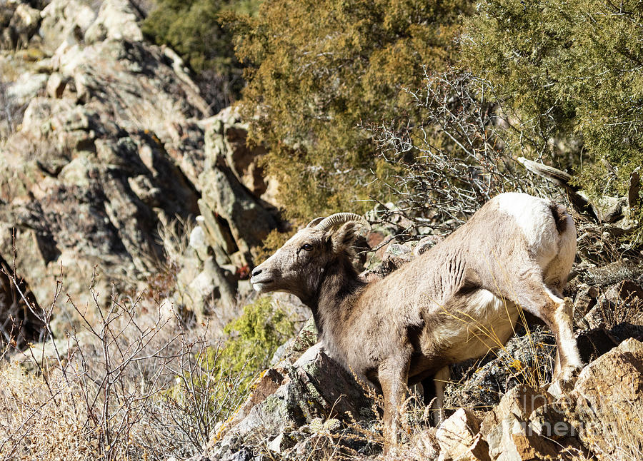 Bighorn Sheep Posing In Waterton Canyon By The South Platte River Photograph