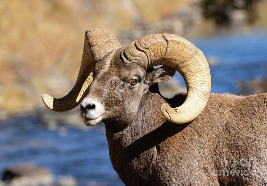 Bighorn Sheep Profile By The River Photograph