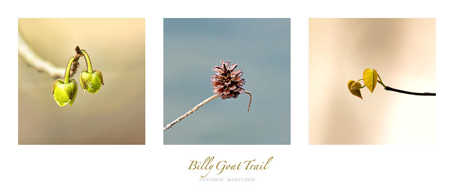 Billy Goat Trail Branches Triptych Photograph