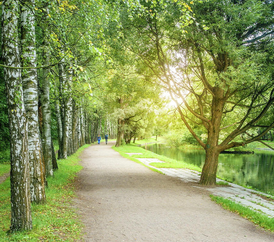 Birch Alley In A Park Photograph