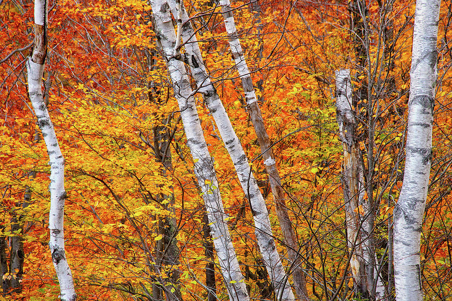 Birch Fire by Jeff Sinon
