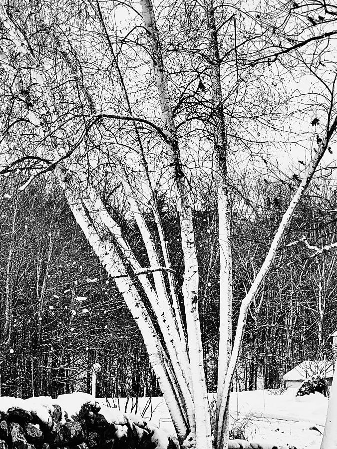 Birch Obsession Photograph by Ali Bailey