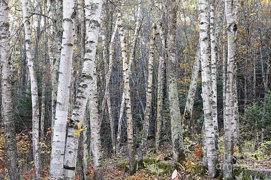 Birch Trees by Larry Ricker
