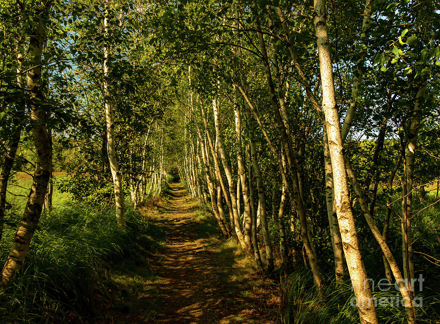 Birch Trees of Jesup Path by Elizabeth Dow