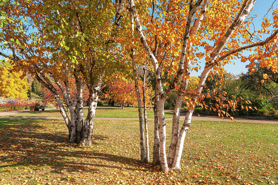 Birch Trees with Golden Autumnal Foliage by Jenny Rainbow
