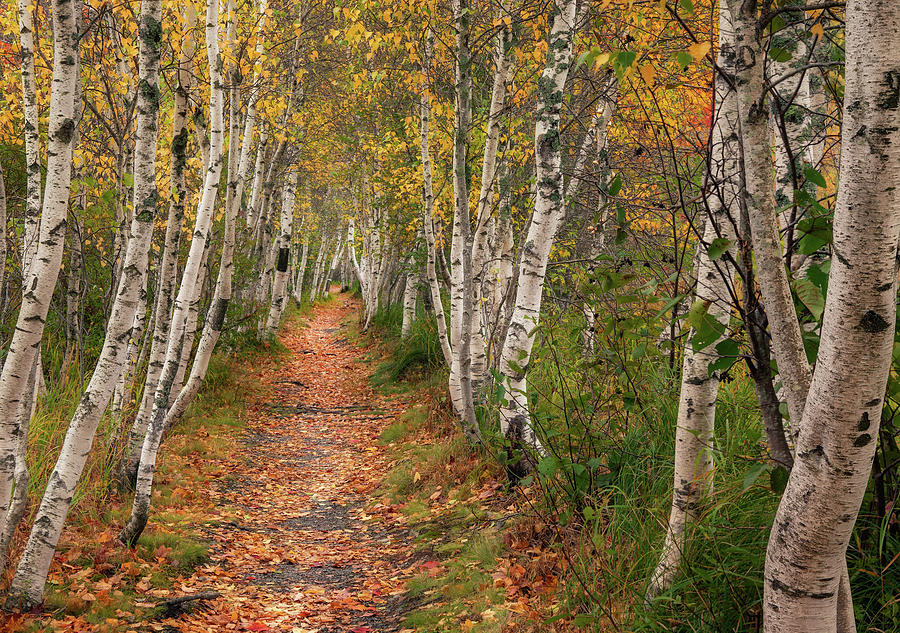 Birches of Acadia by Darylann Leonard Photography