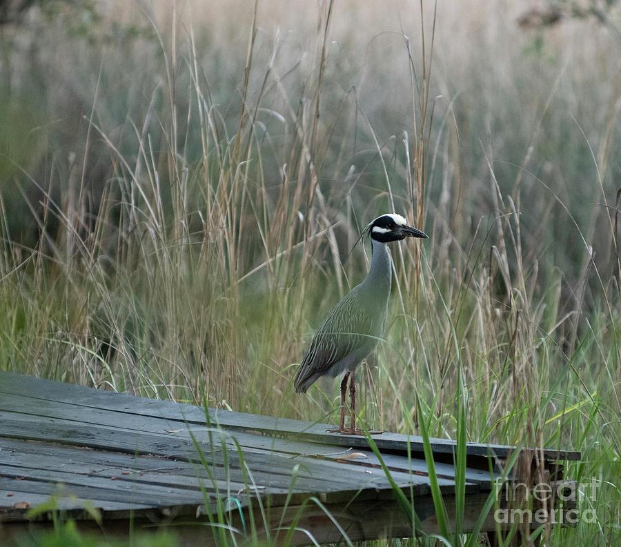 Bird Haven - Yellow Crowned Night Heron Photograph
