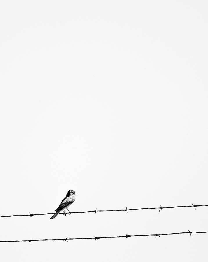 Bird On Barbed Wite Photograph