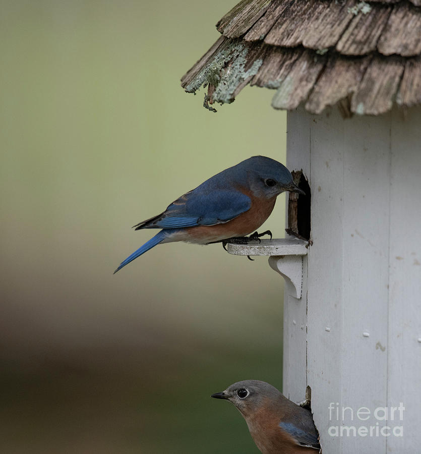 Birds Of A Feather - Blue Birds Photograph