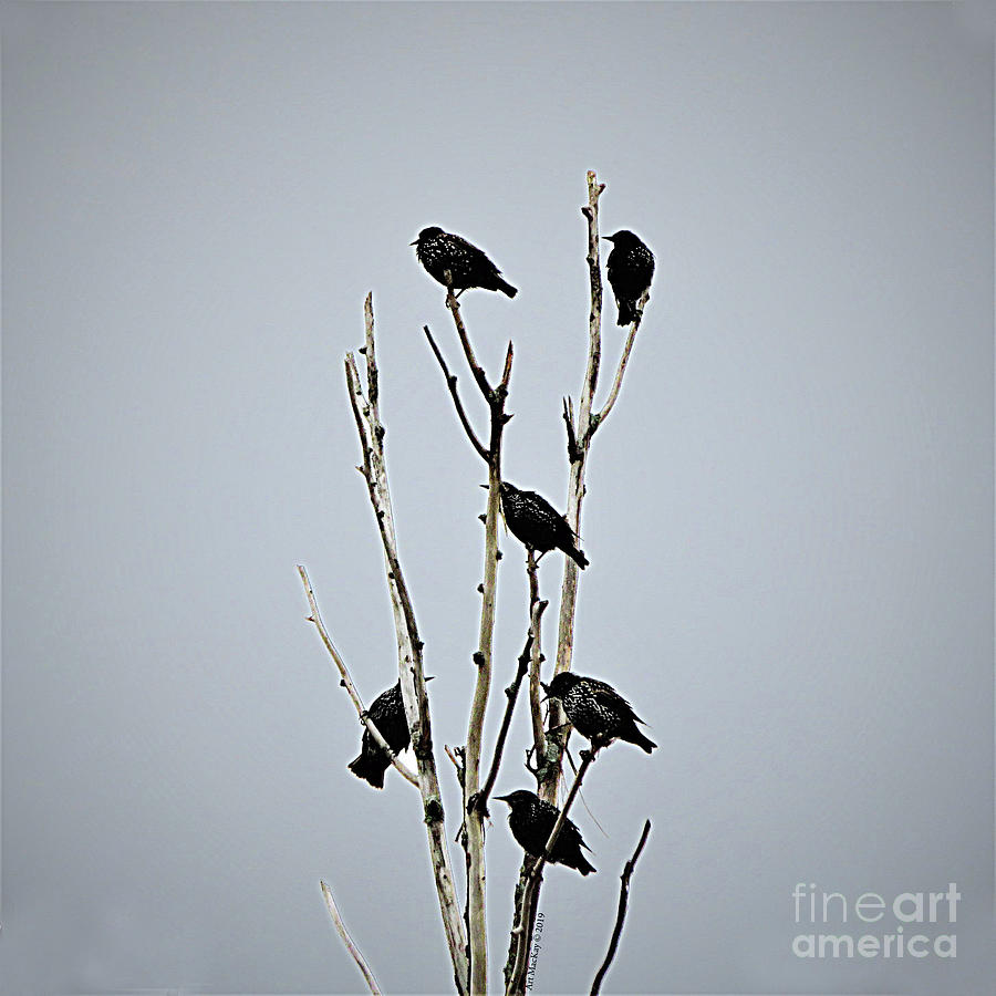 Birds of a Feather - Starlings by Art MacKay