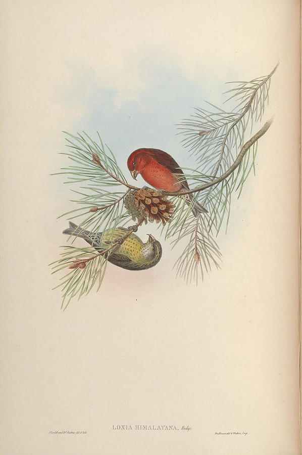 Birds of Asia 1850 1883 by John Gould  001 Painting by Artistic Rifki