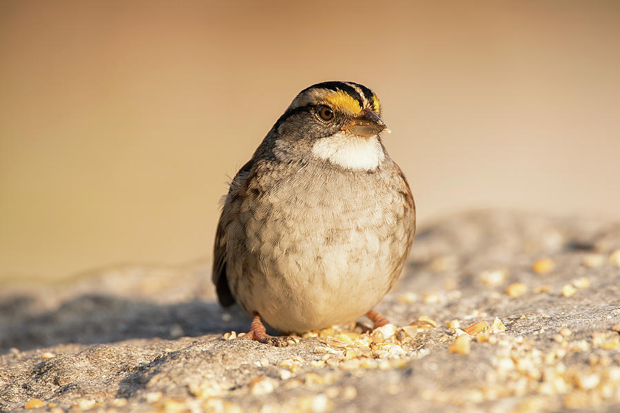 Birdseed Bandit - White-throated Sparrow - Zonotrichia albicolli by Spencer Bush