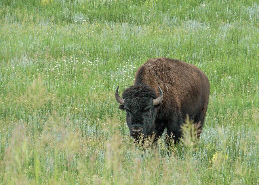 Bison Bull Meadow - Standing by Patti Deters
