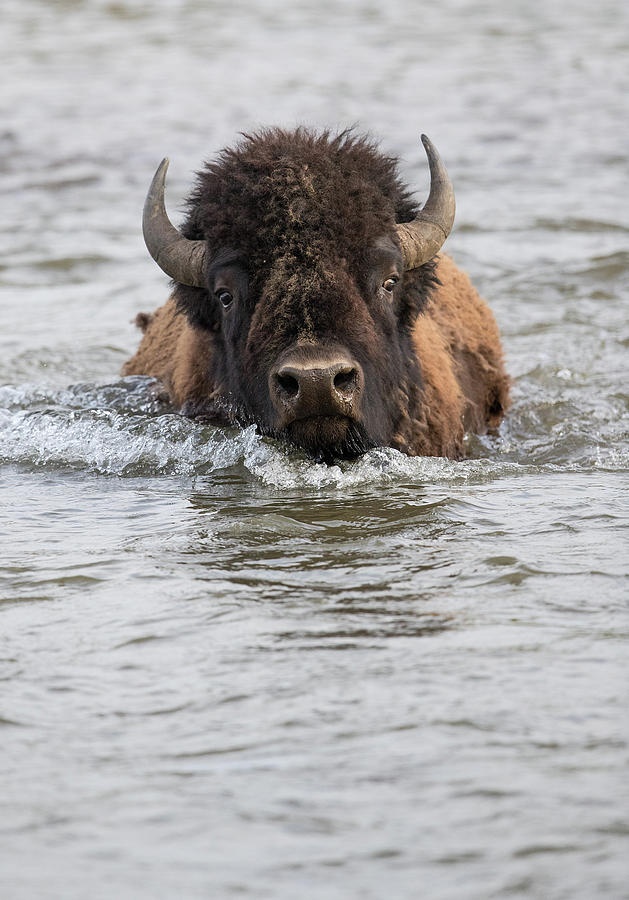 Bison Fording River by Max Waugh