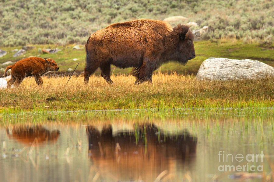 Bison Hiking Reflections by Adam Jewell