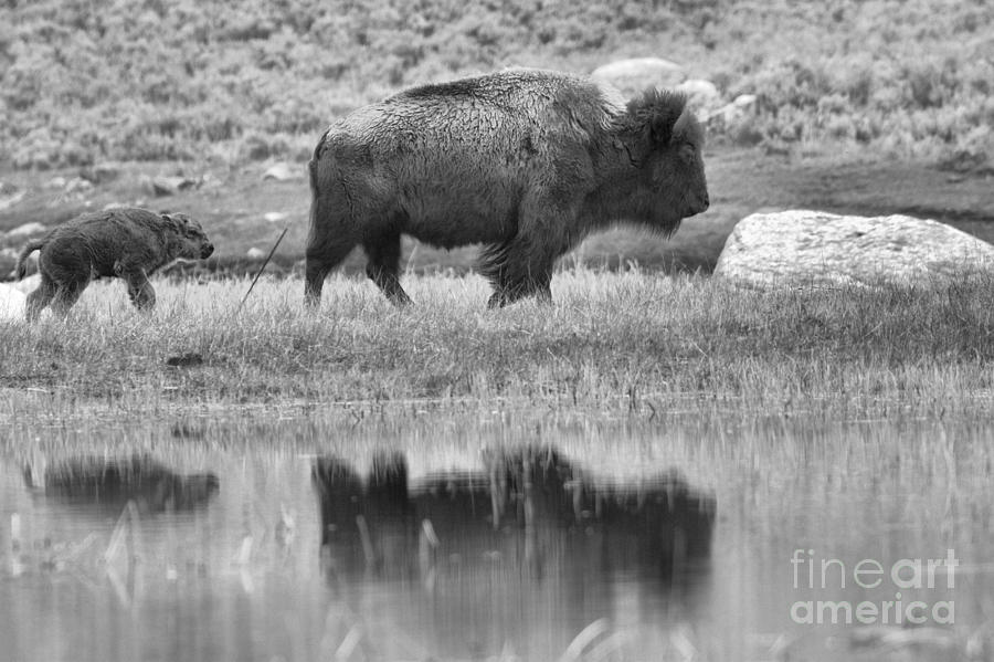 Bison Hiking Reflections Black And White by Adam Jewell