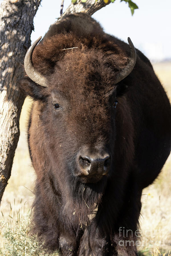 Bison Of The Rocky Mountain Arsenal Photograph