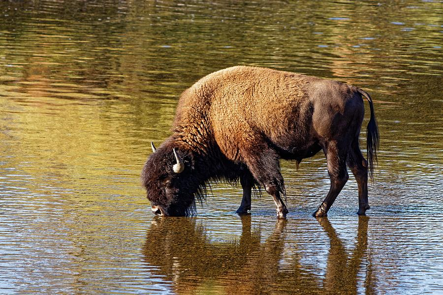 Bison Sipping Lamar River - Yellowstone by KJ Swan
