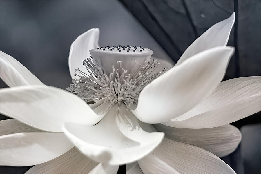 Black And White Lotus Photograph