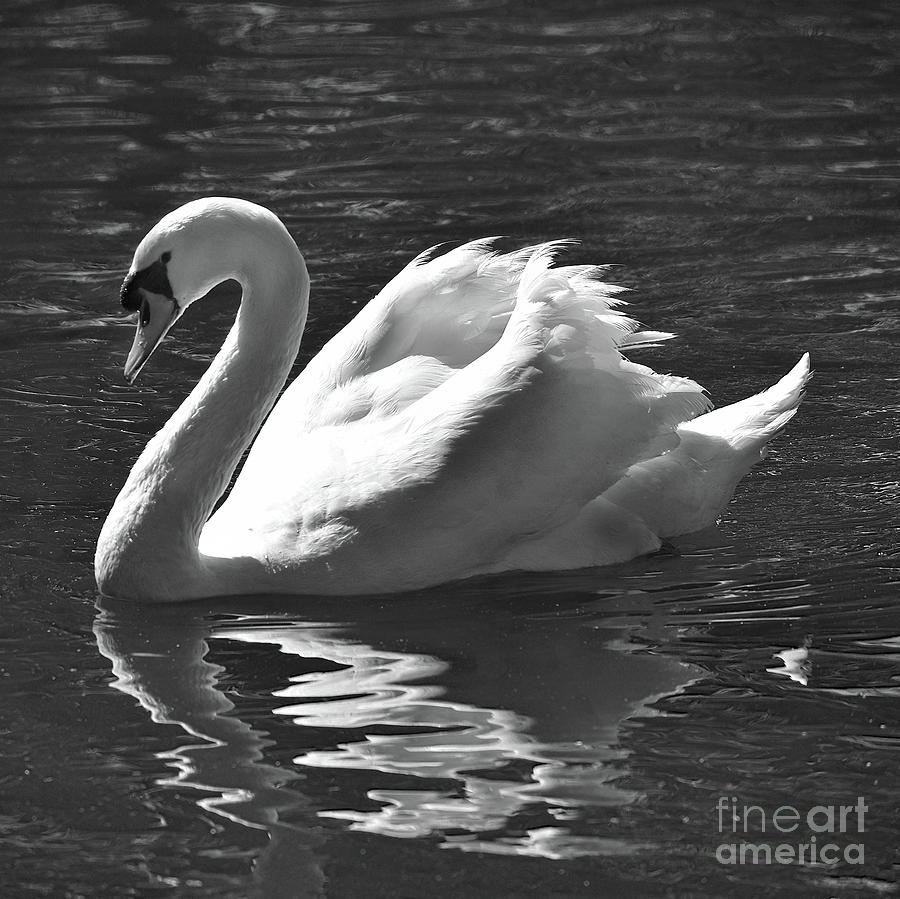 Black And White Mute Swan Photograph