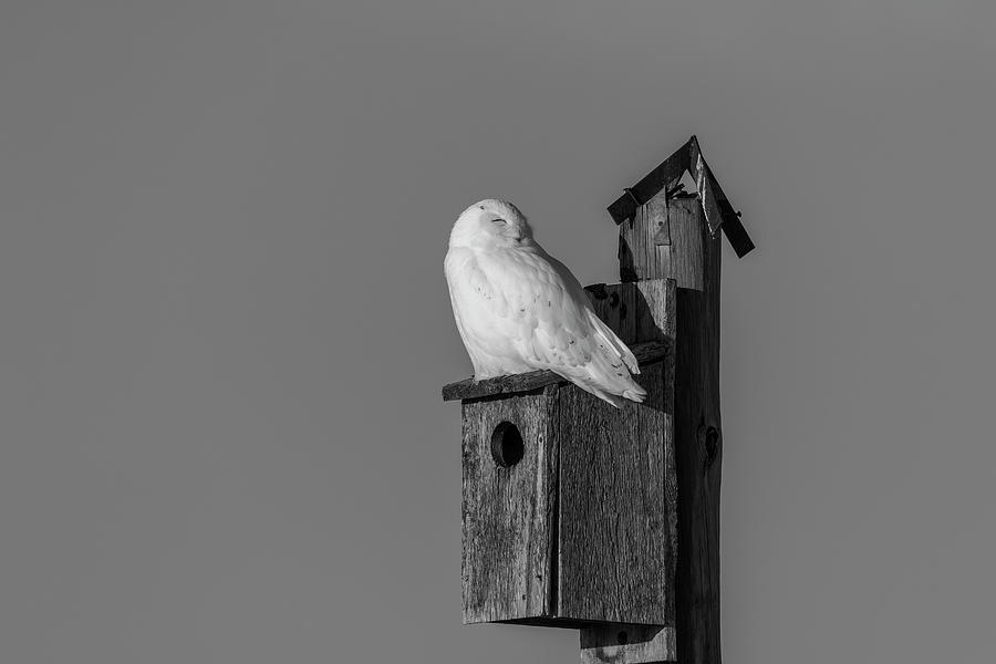 Black and White Snowy Owl 2019-2 by Thomas Young