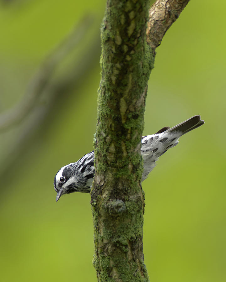 Black And White Warbler Photograph