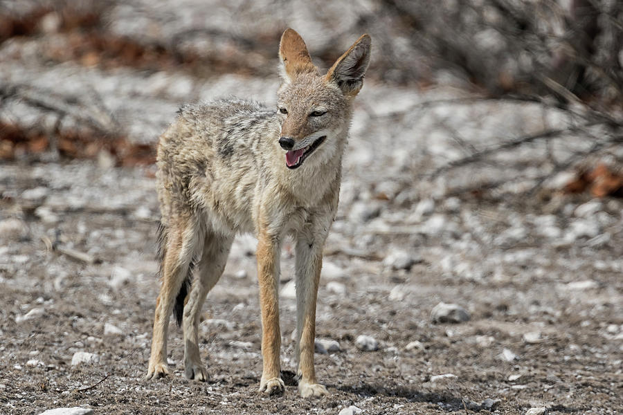 Black-Backed Jackal Looking for a Patch of Shade, No. 1 by Belinda Greb