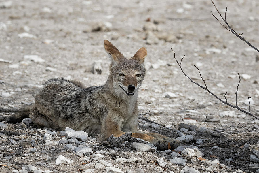 Black-Backed Jackal Looking for a Patch of Shade, No. 3 by Belinda Greb
