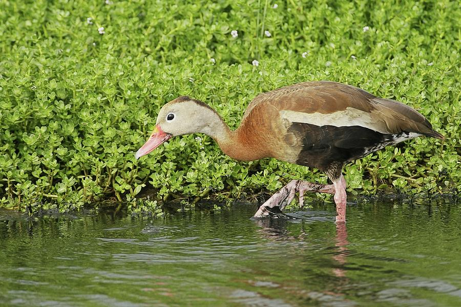 Black-bellied Whistling Duck Walking Photograph