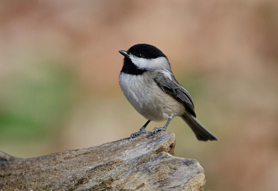 Bird Photograph - Black-Capped Carolina Chickadee by Jim Cook