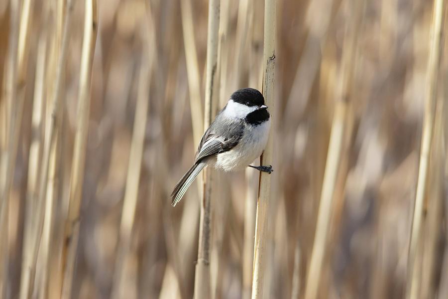 Black-capped Chickadee Spring Reeds Photograph