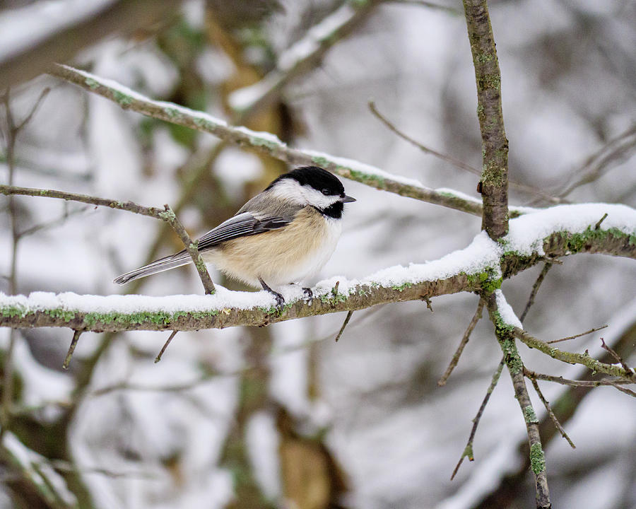 Black-capped Chickadee in Winter by Todd Bannor