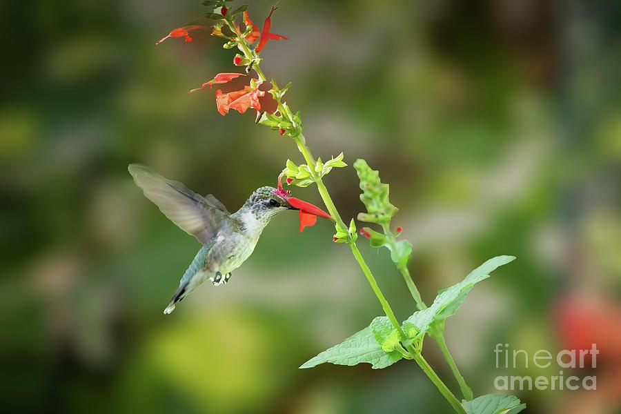 Black-chinned Hummingbird Feeding From R Photograph
