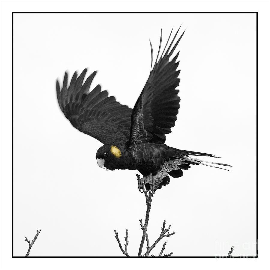 Black Cockatoo v2 by Russell Brown