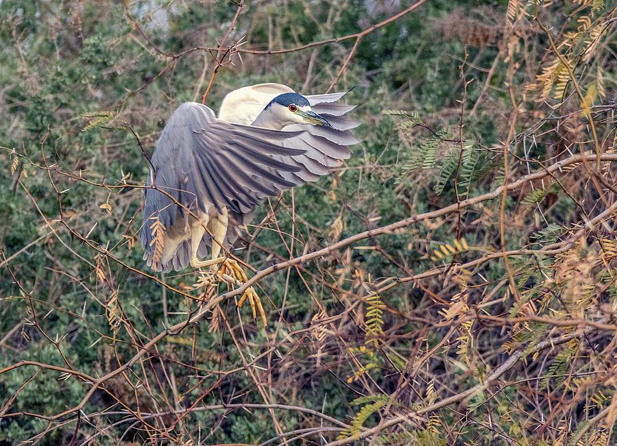 Black-crowned Night Heron 5376-012020-2 by Tam Ryan
