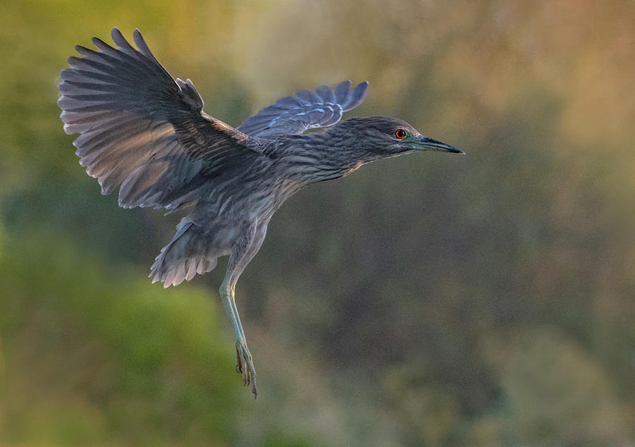 Black-crowned Night Heron Juvenile 0464-100919 by Tam Ryan
