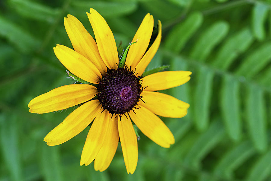 Black-eyed Susan Against Ferns In The Croatan National Forest. Photograph